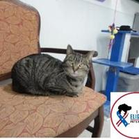 Domestic Shorthair/Domestic Shorthair Mix Cat for adoption in Belleville, Michigan - Susie