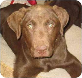 Labrador Retriever/Chesapeake Bay Retriever Mix Puppy for adoption in Evergreen, Colorado - Montana