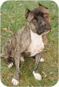 American Staffordshire Terrier/Pit Bull Terrier Mix Dog for adoption in Chicago, Illinois - Beau