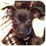 Photo 1 - Chihuahua Mix Puppy for adoption in Lake Forest, California - Rascal