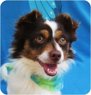 Pomeranian/Papillon Mix Dog for adoption in Irvine, California - Zip