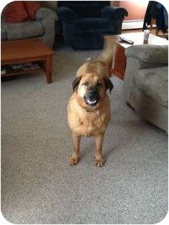 Mastiff/Labrador Retriever Mix Dog for adoption in Groton, Massachusetts - Sue