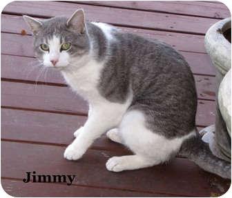 Domestic Shorthair Cat for adoption in Bentonville, Arkansas - Jimmy