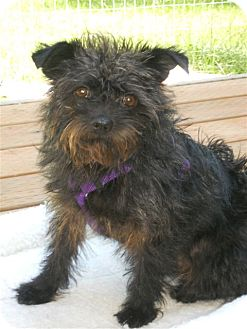 Terrier (Unknown Type, Small) Mix Dog for adoption in Bellingham, Washington - Olive