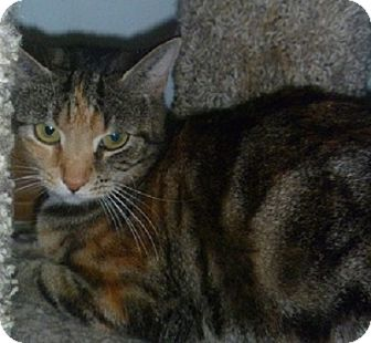 Domestic Shorthair Cat for adoption in Hamburg, New York - Shine Bright