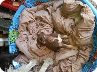 German Shepherd Dog/Labrador Retriever Mix Puppy for adoption in Harbor City, California - chocolate boys