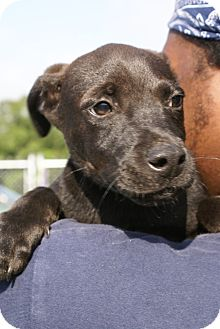 Labrador Retriever Mix Puppy for adoption in Philadelphia, Pennsylvania - Terry
