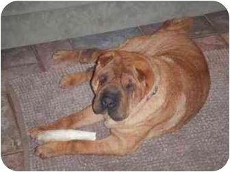 Shar Pei Dog for adoption in Houston, Texas - Sebastian
