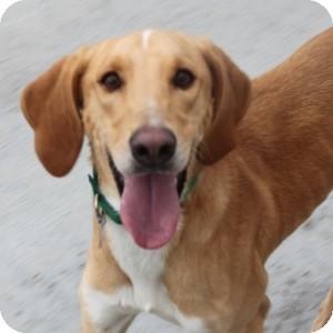 Saluki/Hound (Unknown Type) Mix Dog for adoption in Naperville, Illinois - Rusty