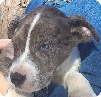 Great Dane/American Bulldog Mix Puppy for adoption in Groton, Massachusetts - Dayton