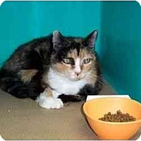 Adopt A Pet :: Calico Clare - Secaucus, NJ