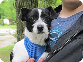 Chihuahua/Terrier (Unknown Type, Small) Mix Puppy for adoption in Syracuse, New York - Tyler