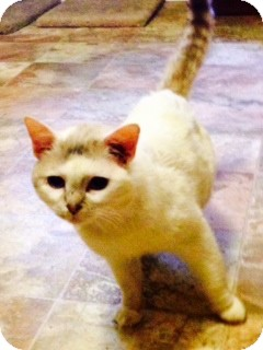 Snowshoe Cat for adoption in Houston, Texas - Loopy
