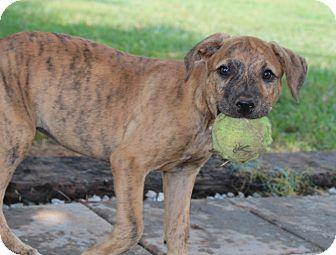 Labrador Retriever/Vizsla Mix Puppy for adoption in Harmony, Glocester, Rhode Island - Mounds