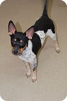 Australian Shepherd Mix Puppy for adoption in Bucyrus, Ohio - Joey