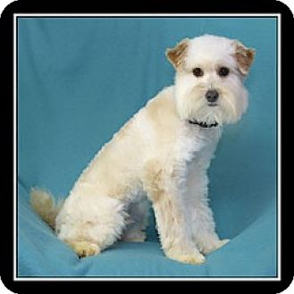 Goldendoodle Mix Dog for adoption in San Diego, California - Gio