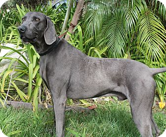 Weimaraner Dog for adoption in Rolling Hills Estates, California - Wowzer