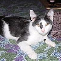 Domestic Shorthair Cat for adoption in Orange, California - Cody