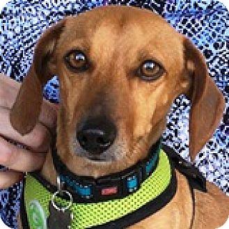 Dachshund Dog for adoption in Houston, Texas - Yukon Cornelius