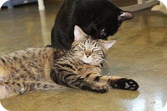 Domestic Shorthair Cat for adoption in Brunswick, Georgia - Wicket