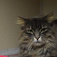 Domestic Longhair Cat for adoption in Pottsville, Pennsylvania - Gery