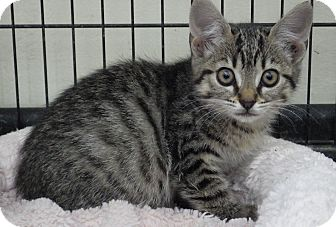 Domestic Shorthair Kitten for adoption in Quail Valley, California - Stripes