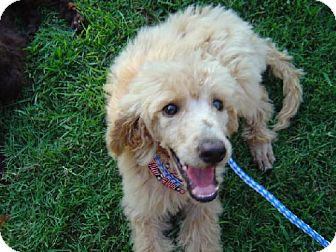Poodle (Standard) Puppy for adoption in Texarkana, Texas - STD P 5 ADOPTED NH