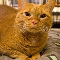 Adopt A Pet :: Pumpkin Pie - Grayslake, IL