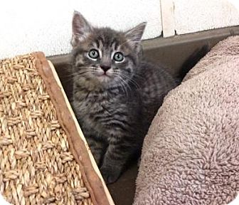 Domestic Mediumhair Kitten for adoption in Lathrop, California - Jazzy