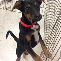 Adopt A Pet :: Edison in CT - Manchester, CT