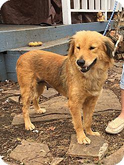 Golden Retriever Mix Dog for adoption in New York, New York - Katie