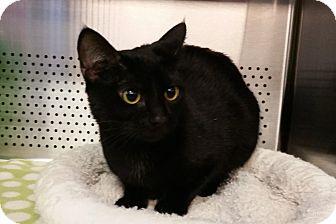 Domestic Shorthair Cat for adoption in Sarasota, Florida - Misha