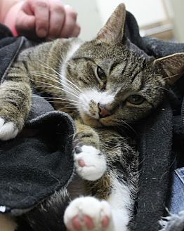 Domestic Shorthair Cat for adoption in Livonia, Michigan - Marvin