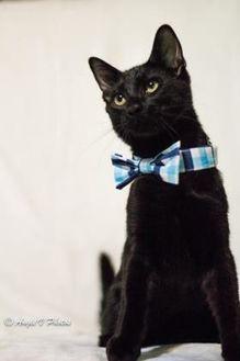 Domestic Shorthair/Domestic Shorthair Mix Cat for adoption in Burlington, North Carolina - Obi-Wan