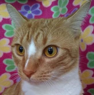 Domestic Shorthair/Domestic Shorthair Mix Cat for adoption in Englewood, Florida - Pebbles