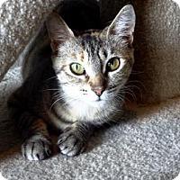 Domestic Shorthair Cat for adoption in Lathrop, California - Simona