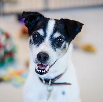 Jack Russell Terrier/Rat Terrier Mix Dog for adoption in Bealeton, Virginia - Boomer (JRT)