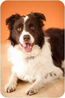Australian Shepherd/Springer Spaniel Mix Dog for adoption in Portland, Oregon - Simon
