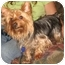 Photo 1 - Yorkie, Yorkshire Terrier Dog for adoption in Conroe, Texas - Bailey
