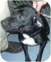 Beagle/Labrador Retriever Mix Dog for adoption in West Warwick, Rhode Island - Pongo