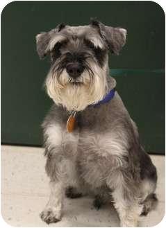 Schnauzer (Miniature) Dog for adoption in Wichita, Kansas - Cyrus