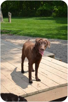 Labrador Retriever Dog for adoption in Lewisville, Indiana - Bailey
