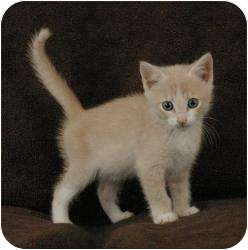 Domestic Shorthair Kitten for adoption in Sacramento, California - Buffy