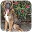 Photo 3 - German Shepherd Dog Mix Puppy for adoption in Los Angeles, California - Dexter von Lancaster