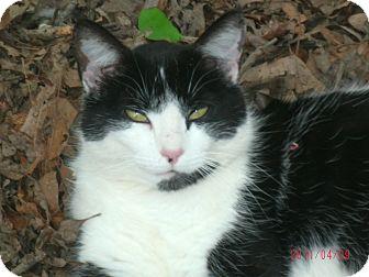 Polydactyl/Hemingway Cat for adoption in Easley, South Carolina - Socks