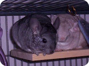 Chinchilla for adoption in Avondale, Louisiana - Roo m & Bella f