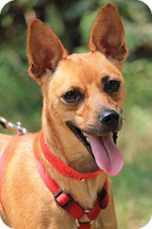 Basenji/Chihuahua Mix Dog for adoption in Marietta, Georgia - Singer