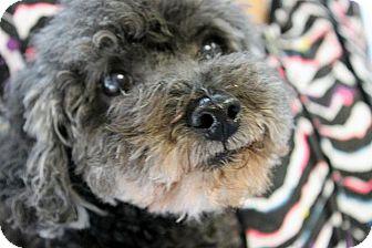 Poodle (Miniature) Dog for adoption in Cincinnati, Ohio - Doodlebug: Owner in Nursing Ho