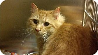 Domestic Longhair Cat for adoption in Worcester, Massachusetts - Princeton