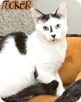 Domestic Shorthair Kitten for adoption in River Edge, New Jersey - Tucker